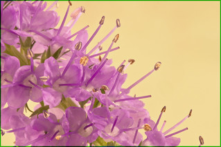 Macro Of Purple Fireweed Wildflower