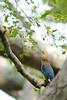 Blue-and-white Flycatcher [Juvenile male] -Birds of Japan- by KazKuro
