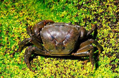 台灣束腰蟹 (Somanniathelphusa taiwanensis),棲息於西台灣農田與溪流溝渠附近,由於棲地的破壞與農藥的影響,數量已變得相當稀少。(圖片攝影:施習德)