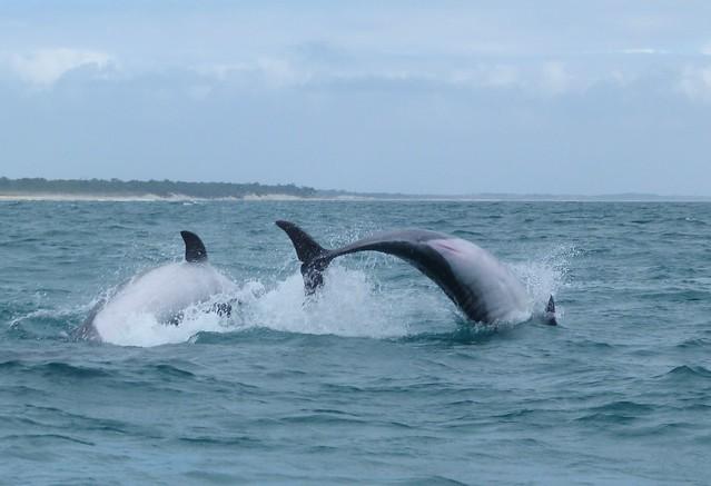 Delfines saltan en el estuario del río Sado (Tróia, Alentejo, Portugal)