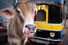 India   Holy Cows