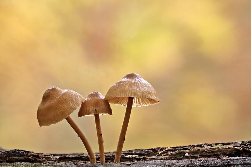 Autumn Mycenas
