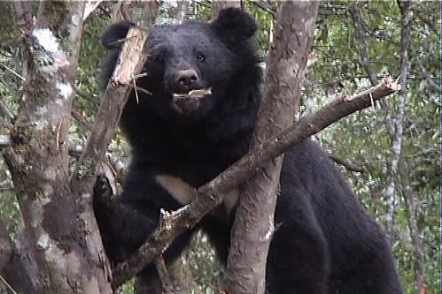 向陽斷掌老熊確認為Lon,生前健康圓滾的模樣。(圖片來源:台東林管處)