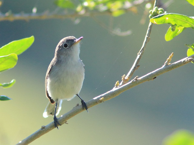 Blue-gray Gnatcatcher 20141111