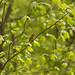 Small photo of Blackburnian warbler on American beech