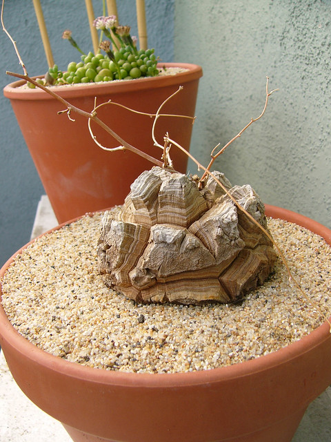 Dioscorea elephantipes