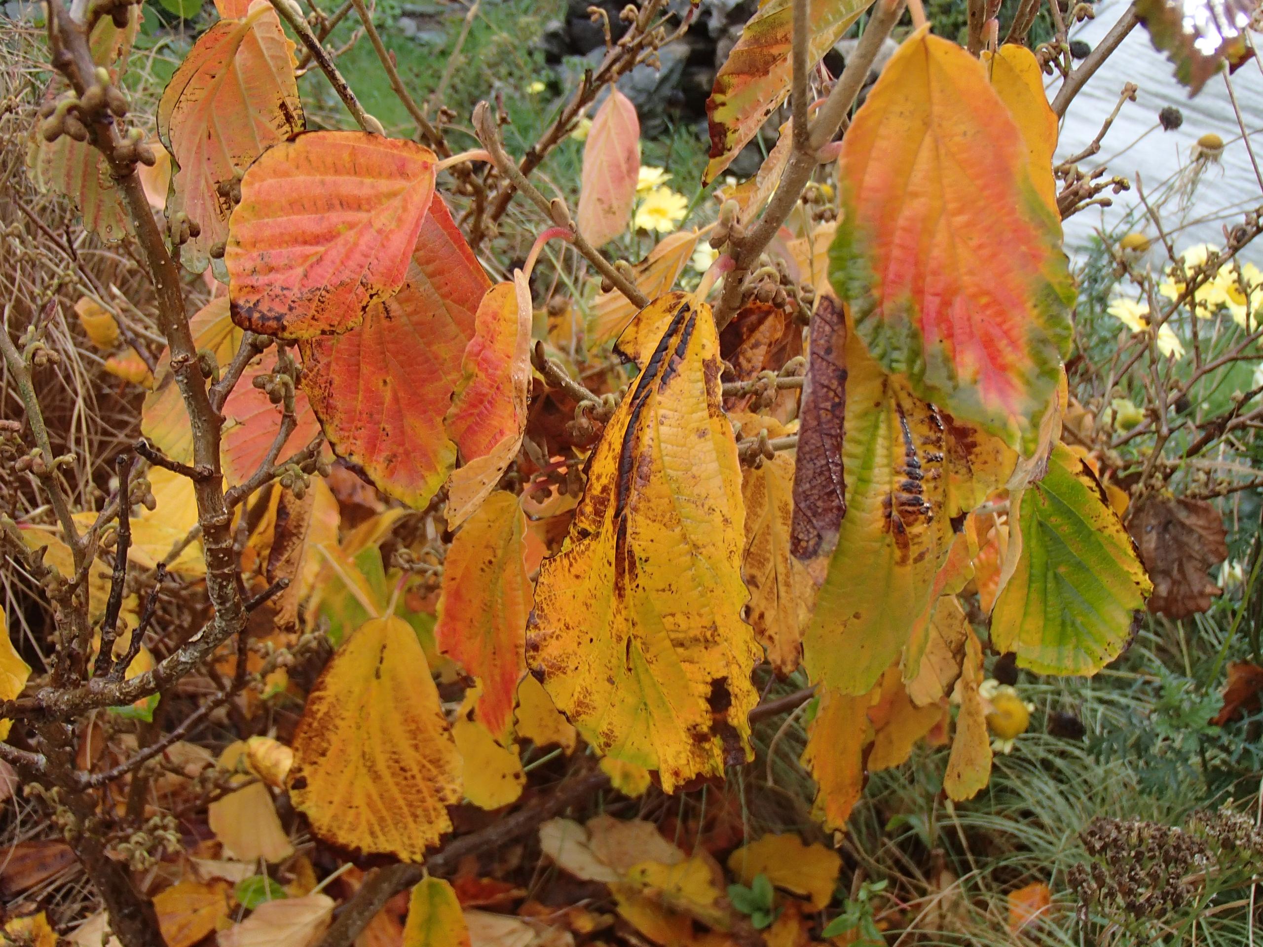 autumn-witch-hazel-leaves