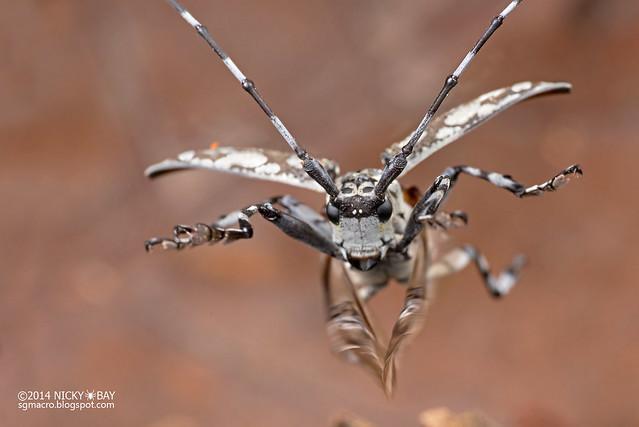Longhorn beetle (Palimna sp.) - DSC_6988