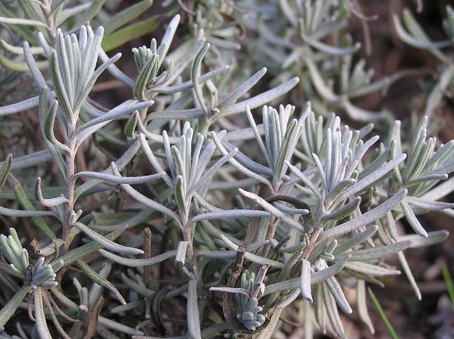 Lavendula angustifolia 'Hidcote'