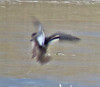 Green-winged Teal - thanks Hendrik!