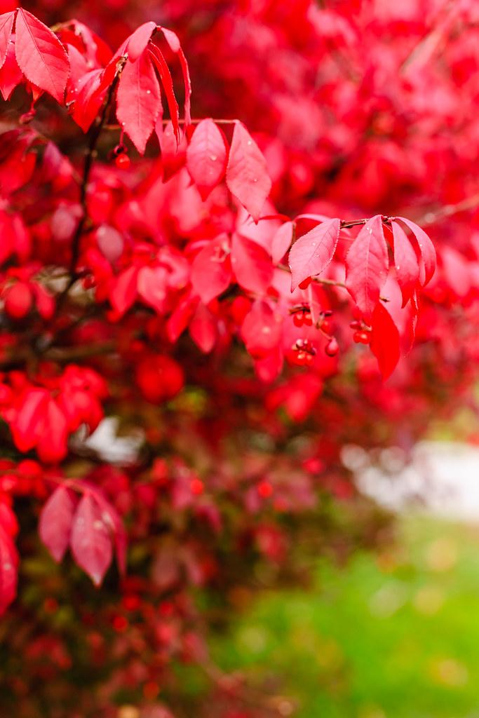 Dogwood bush in autumn [Flickr]