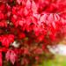 Dogwood bush in autumn