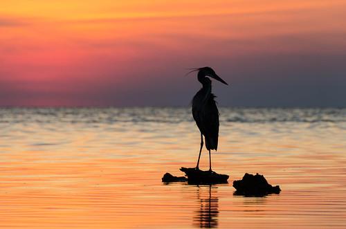 floridagulf sunsetsilhouettebirdheron