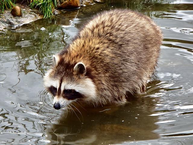 STEHOUWER AND RECIO - Raccoon