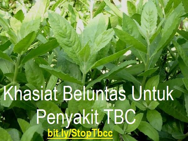 Khasiat Beluntas Untuk Penyakit TBC