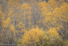 Yellow Static (Aspens, Rush Creek)