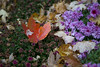 Fallen Autumn Leave in flowers