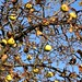 Last apples on the tree by tillwe