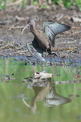 Taking a Bow: White-faced Ibis (Plegadis chihi)