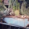 Wheelbarrow of succulents, 12/31/16