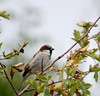A sparrow in the sparrow bush