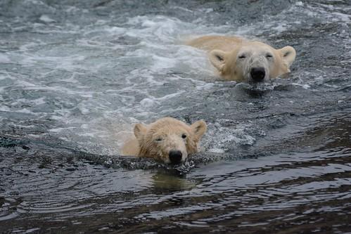 Eisbären Lale und Valeska im Zoo am Meer