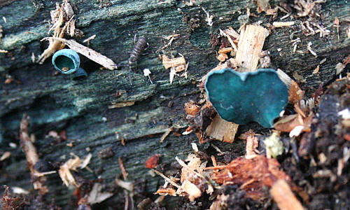 Green Elf Cup Chlorociboria aeruginascens Tophill Low NR, East Yorkshire November 2014