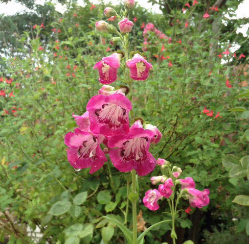 penstemon pink