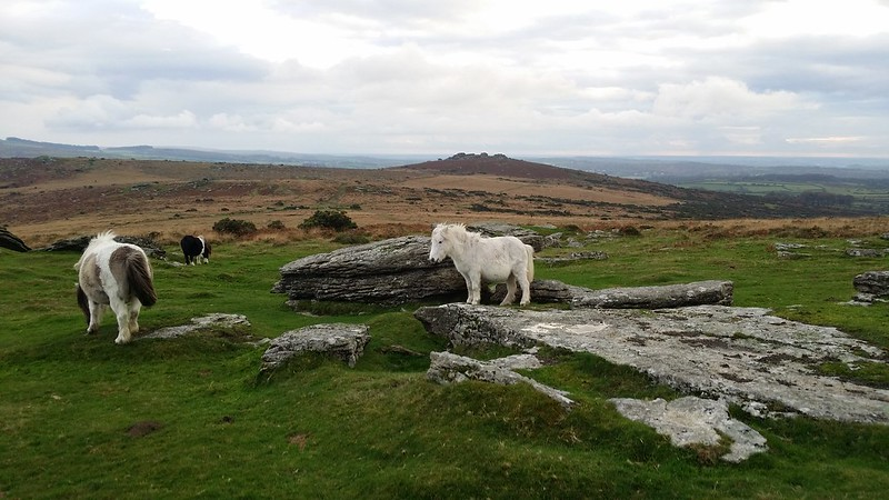 Dartmoor Ponies on Barn Hill Rocks #sh
