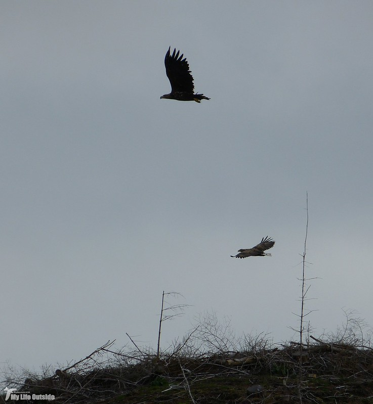 P1090177_2 - White-tailed Eagle, Isle of Mul