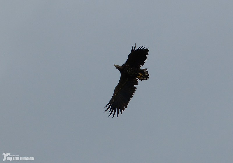 P1090179 - White-tailed Eagle, Isle of Mul