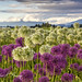 Purple and White Ornamental Onions by HK Passey