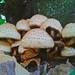 Small photo of Agaricus augustus