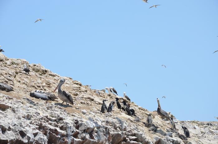 pingüinos perú