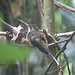 Straight-billed Hermit - Photo (c) Dick Culbert, some rights reserved (CC BY)