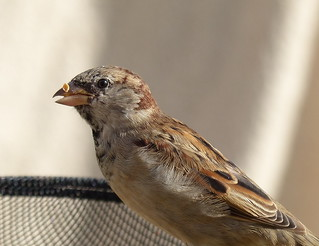 House Sparrow | by Tom Kennedy1