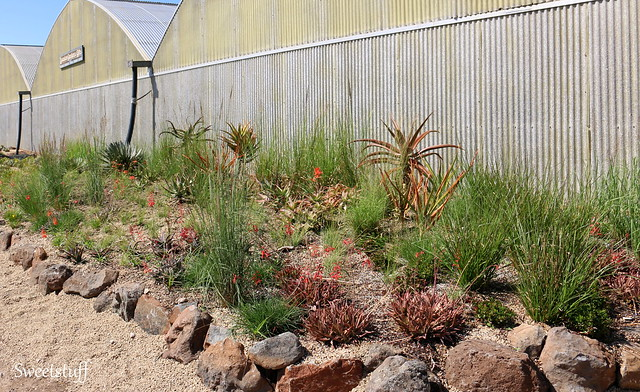 GRASSES, SUCCULENTS, AND… BY JOHN GREENLEE