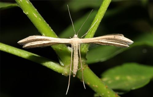 insect tanzania moth lepidoptera arthropoda arusha arthropod insecta plumemoth mtmerugamelodge