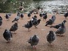 Hyde Park pigeons are scared