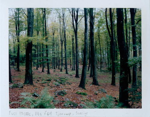 autumn tree fall film forest polaroid sweden scan fujifilm sverige 2014 beechtrees fagussylvatica instantfilm peelapart polaroidback fp100c skånelän mamiyauniversal analoguephotography peelapartfilm epsonperfectionv700 gunnarp f127mm mamiyasekorp