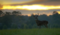 Buck at Sunrise