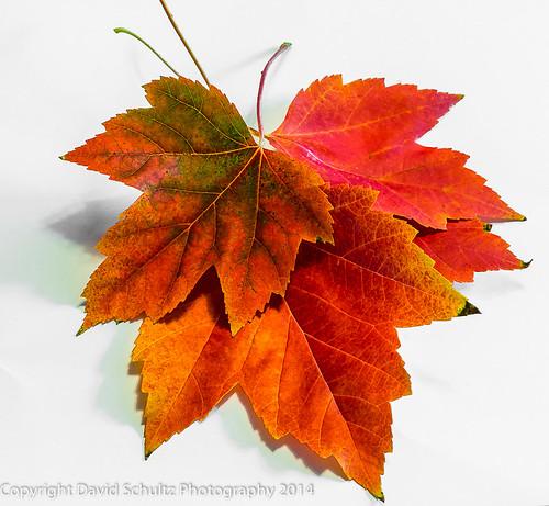 macro closeup nikon fallcolor tokina d800 studiophotography tokina100mmf28atxprod davidschultzphotographycom 10092014 throughthelensrevelations