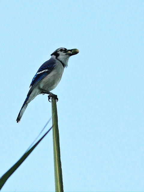 Blue Jay with acorns 20141028