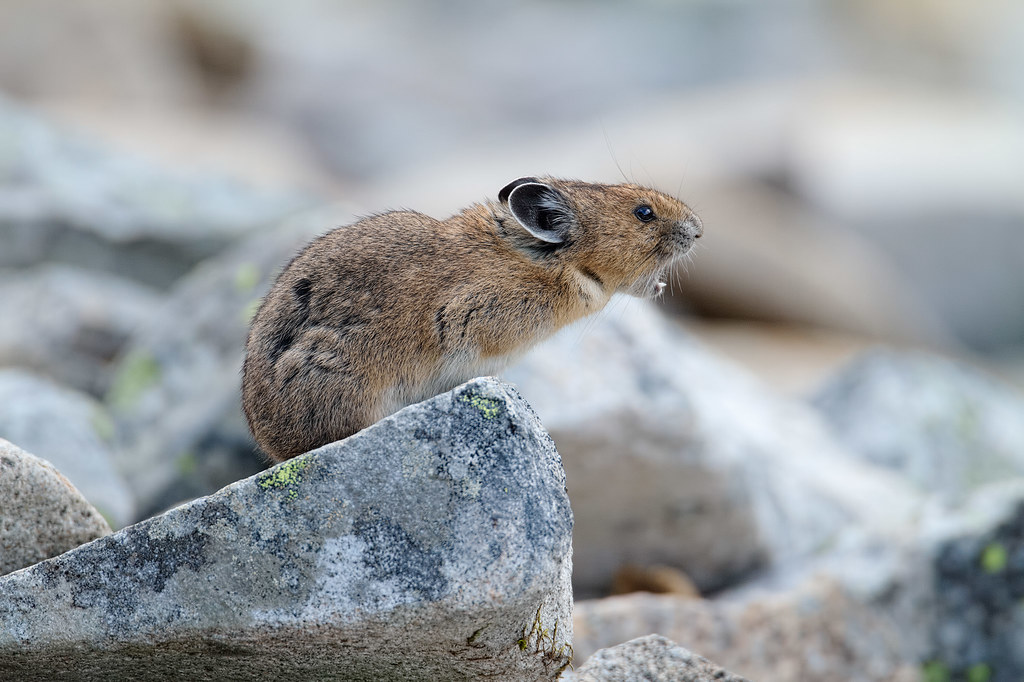 An American pika calls out from its home in a talus field in Mount Rainier National Park