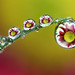 Same dewdrops different flowers series 2 #4 by Lord V