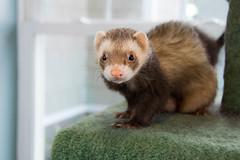 animal, weasel, mustelidae, mammal, fauna, marten, polecat, whiskers, ferret,