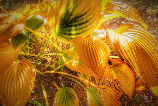 Autumn Hostas