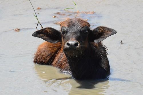 Water Buffalow
