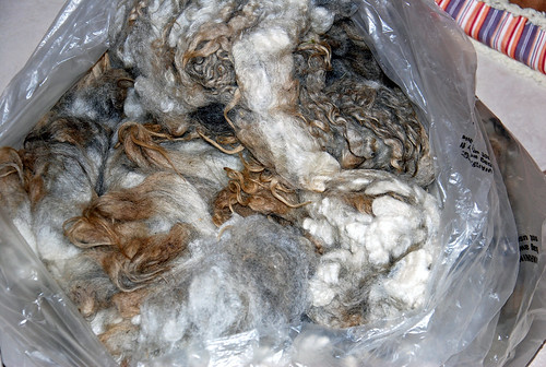 Raw Shetland fleece from spinner's flock, McTavish Farm in Oregon