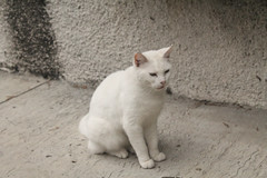animal, small to medium-sized cats, burmilla, cat, carnivoran, whiskers, domestic short-haired cat,